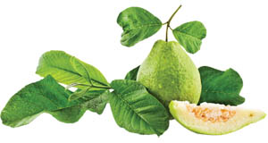 Guava Leaves